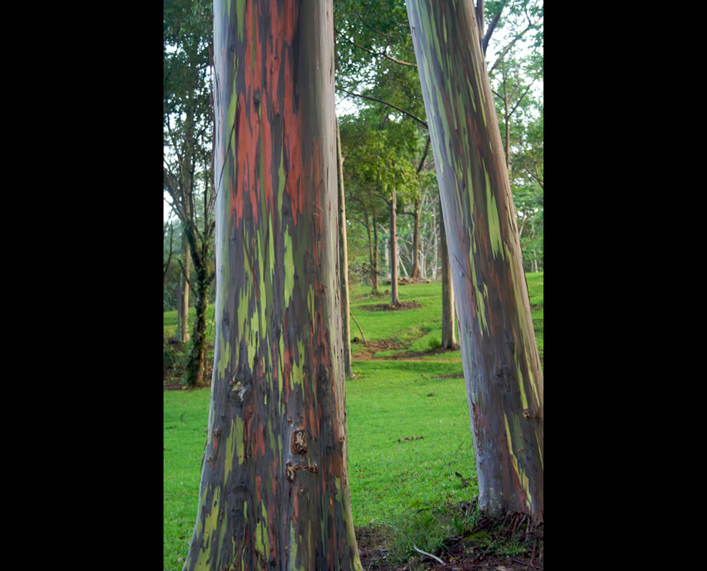 Living Rainbow: Rainbow Eucalyptus, Most Beautiful Tree Bark on ...