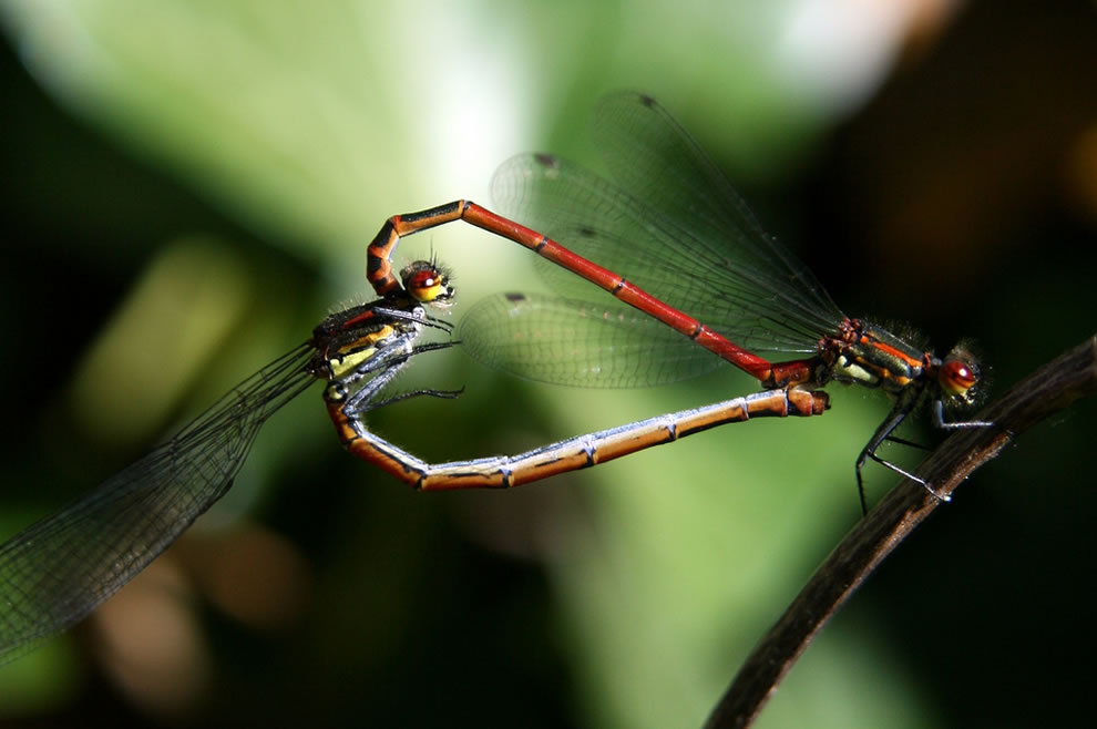 Red Damselfly, heart shape insect