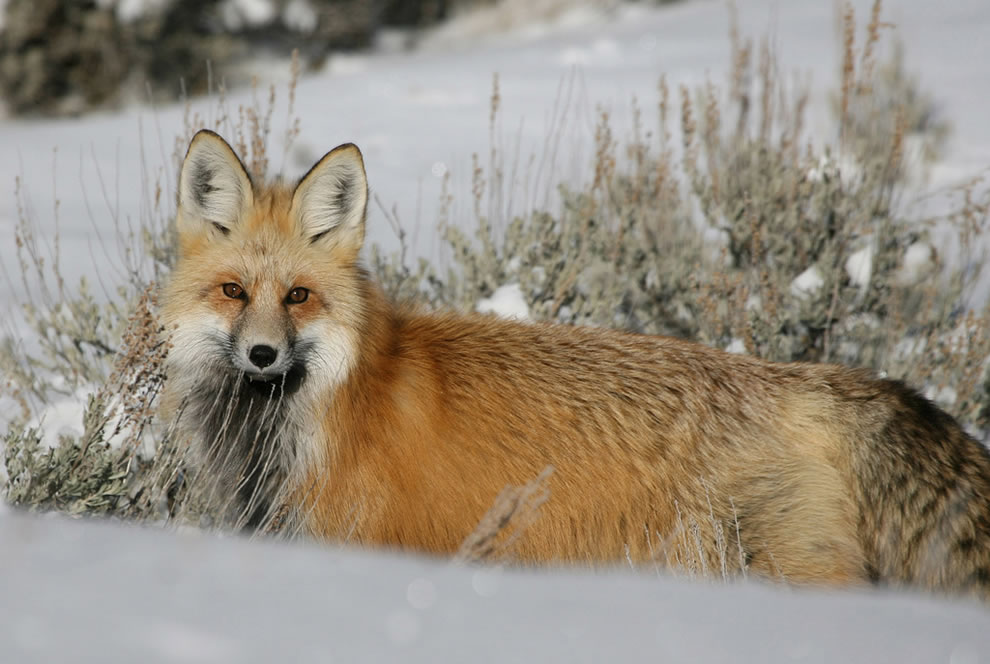 Red fox in Lamar Valley at Yellowstone National Park