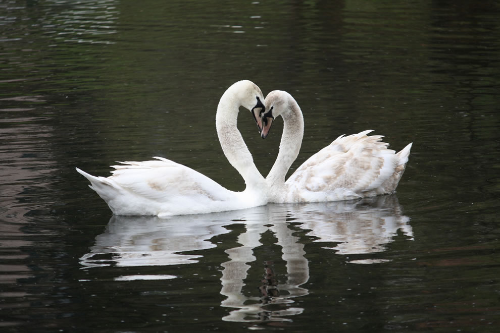 Swans in love, two bodies, one heart in Germany