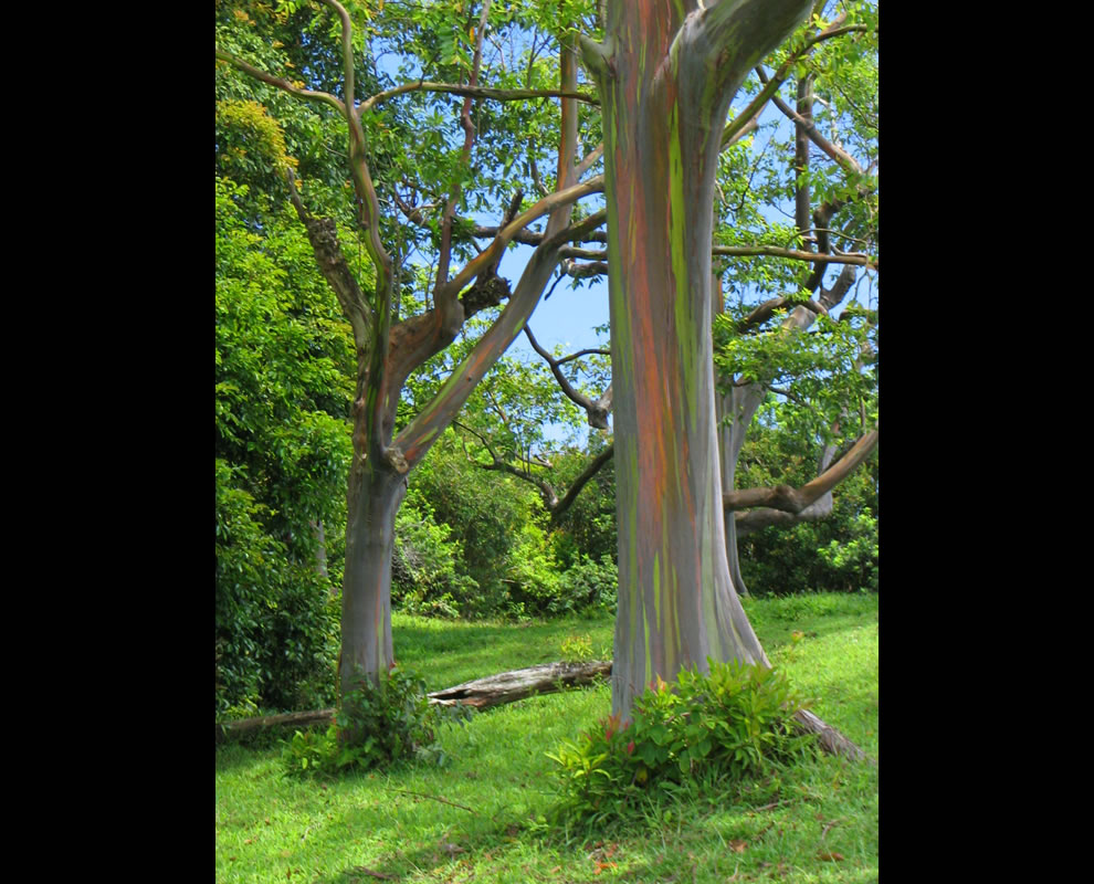 The other rainbow in Maui, rainbow eucalyptus trees