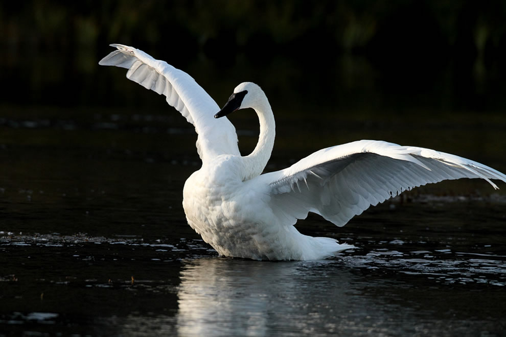 Trumpeter Swan with unfolded wings, Yellowstone National Park