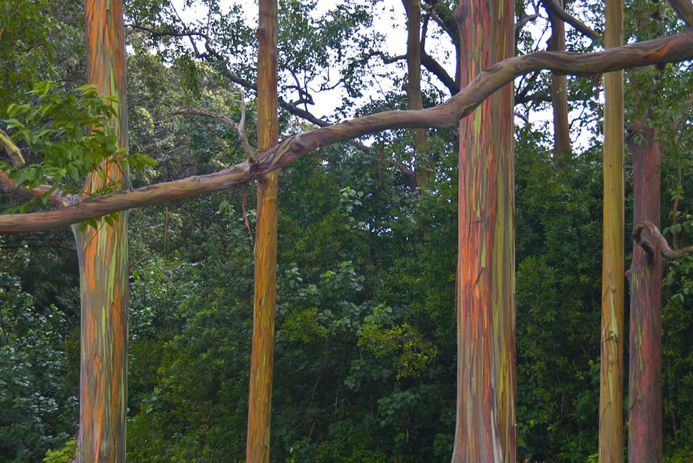 Trunks of rainbow eucalyptus trees