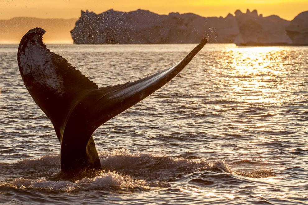 Whale fluke at icebergs at Jacobshavn Isfjord, Greenland