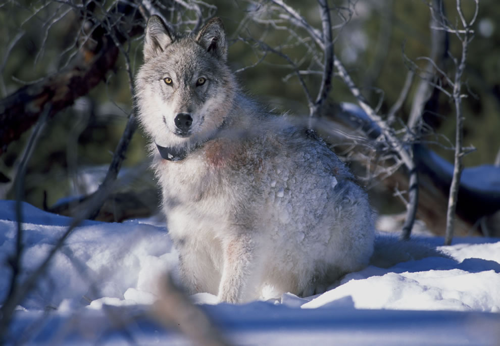 Wolf watches biologists in Yellowstone National Park