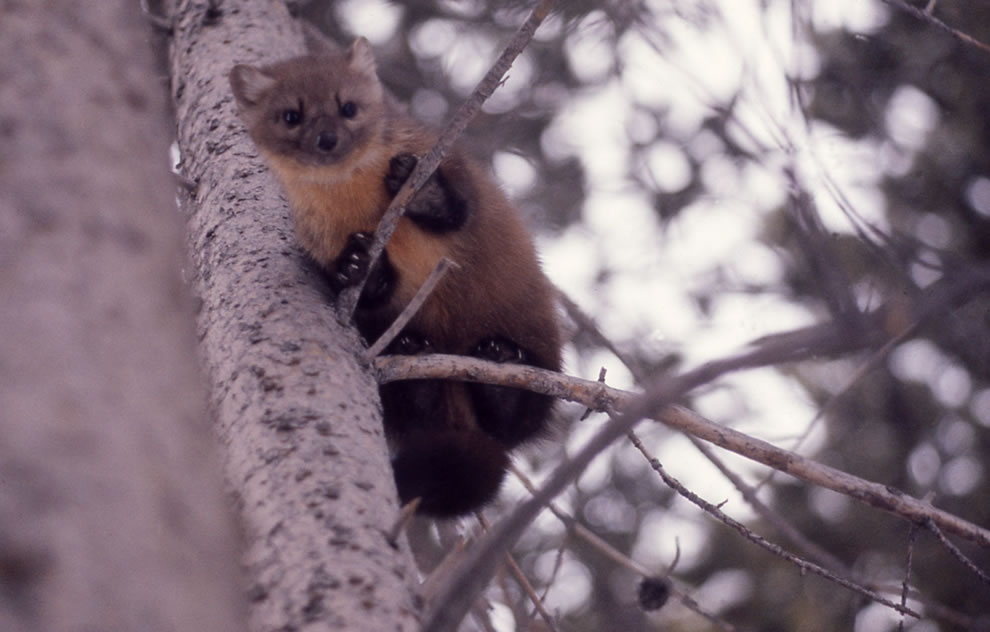 Yellowstone wildlife Pine marten
