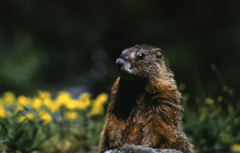 Yellowstone yellow-bellied marmot