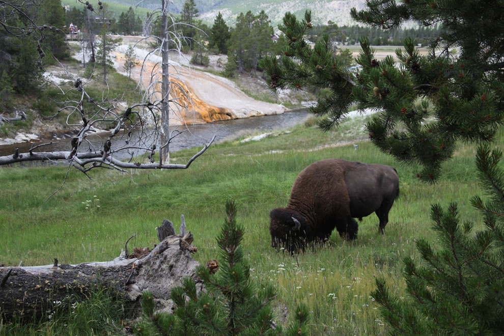 A buffalo munches near Old Faithful in Yellowstone National Park