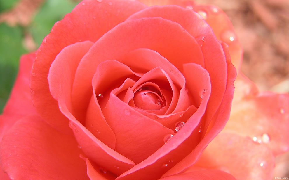 Gorgeous roses the meaning of rose colors 35 pics - Rosas color coral ...
