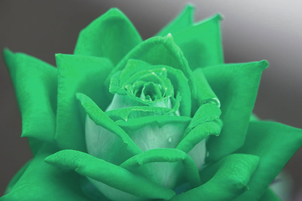 A green rose means calm, fertility, fruitfulness