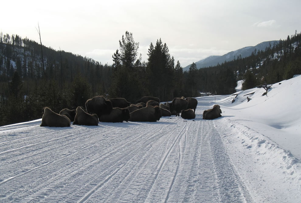 Bison Road Block, Yellowstone Buffalo Jam
