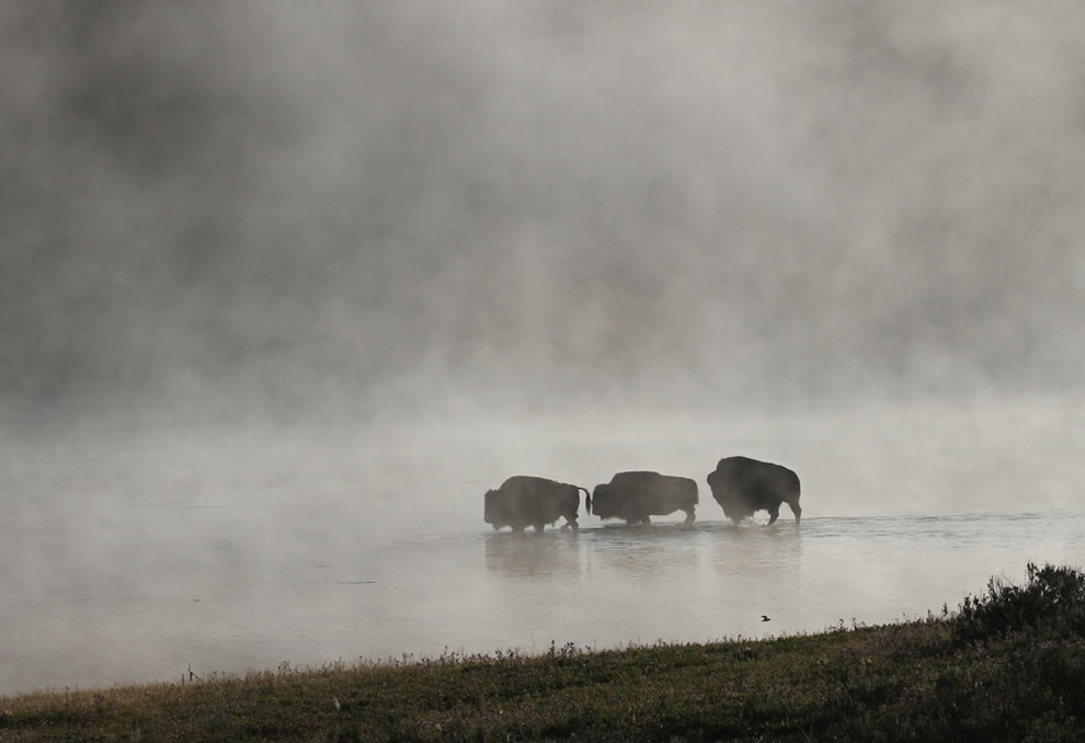 Bison crossing Yellowstone River on a foggy morning
