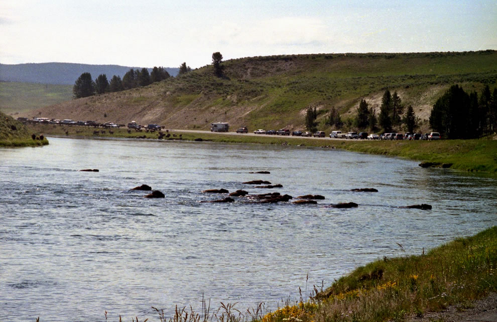 Bison crossing river and road in Yellowstone