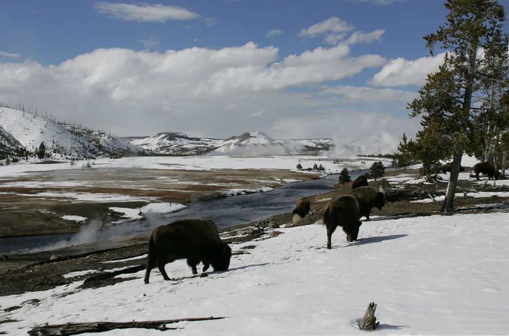 Bison grazing along Firehole River: Bison grazing near Midway Geyser Basin in winter