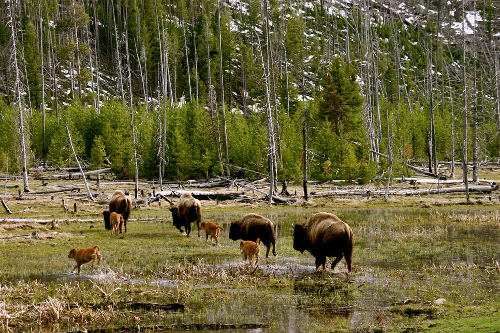 Yellowstone Bison herd making their way across the flooded meadow