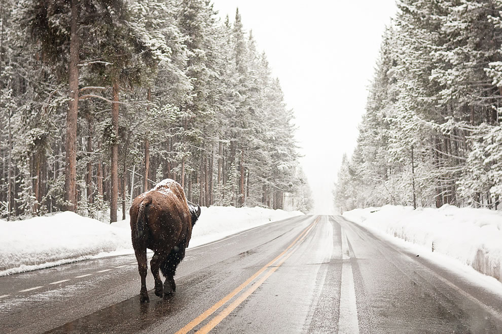 Bison on the snowy Yellowstone road