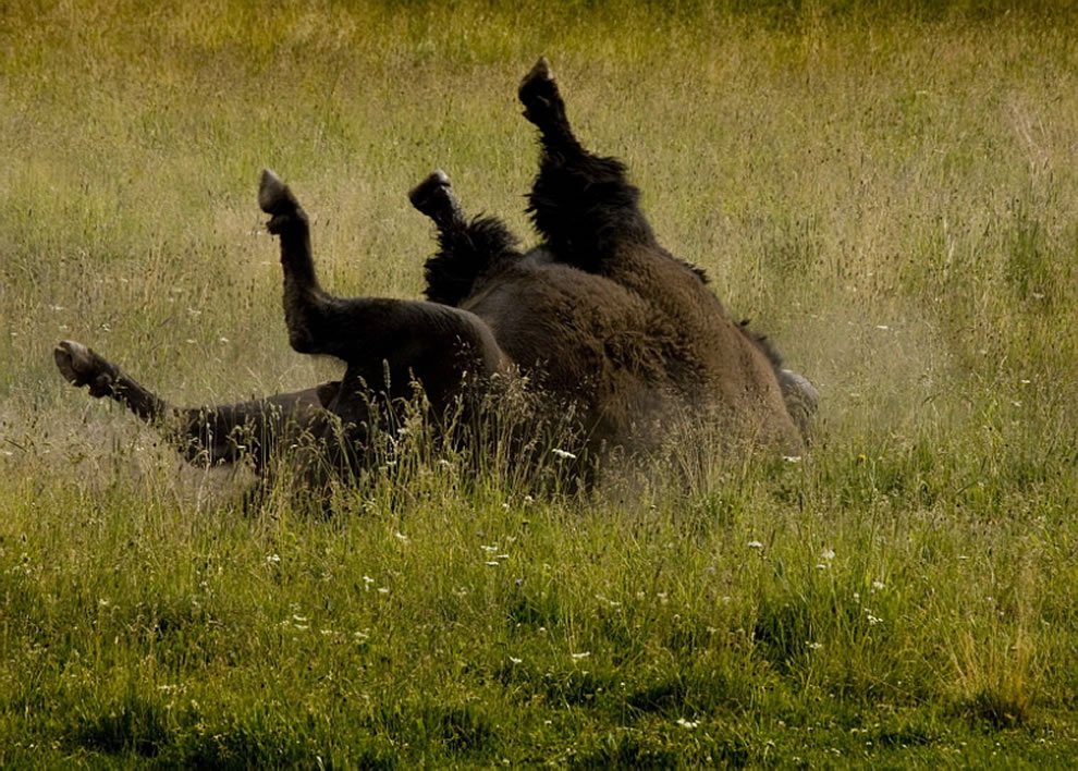 Bison scratching his back at Yellowstone