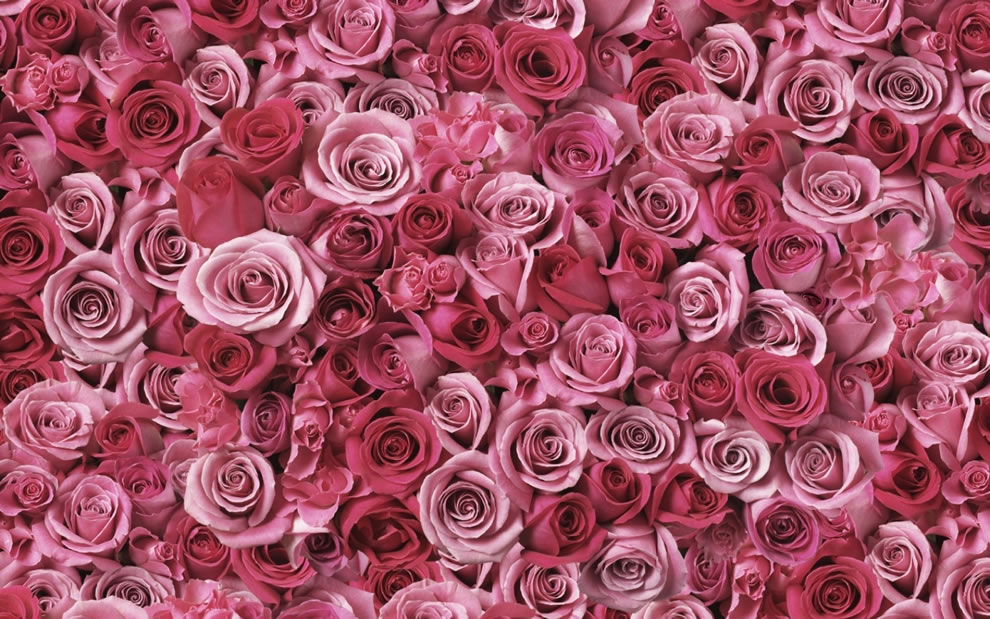 Both The Shade Of Pink As Well Quany Roses Alters Symbolism