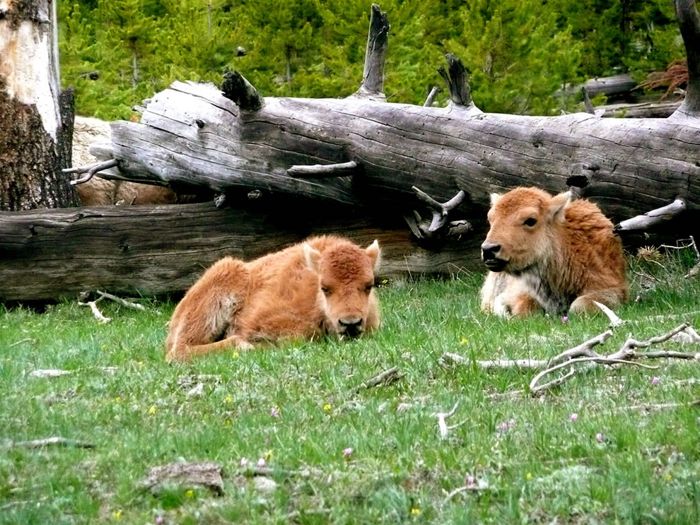 Buffalo babies, taking a rest at Yellowstone National Park