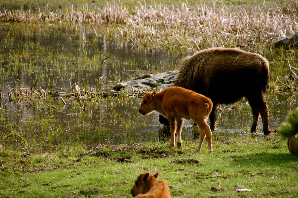 Buffalo baby and mom at Yellowstone National Park - Wyoming, USA