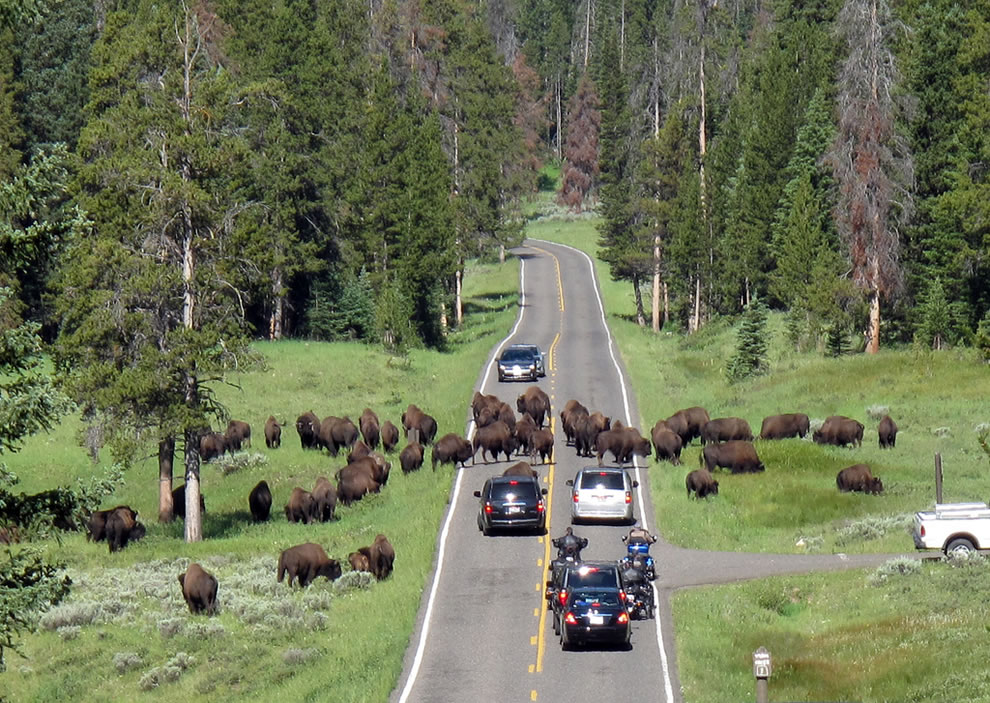 Buffalo, not humans, rule the roads at Yellowstone