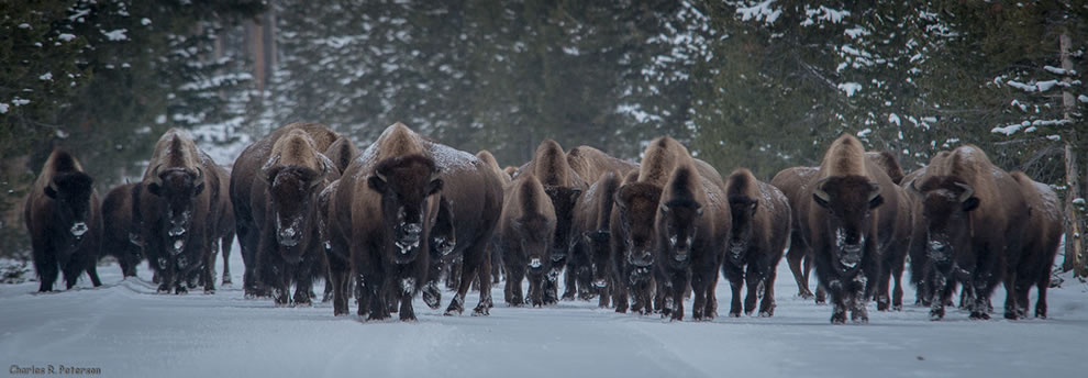 Coming through, Bison herd, west Yellowstone to Madison Junction Road, Yellowstone National Park