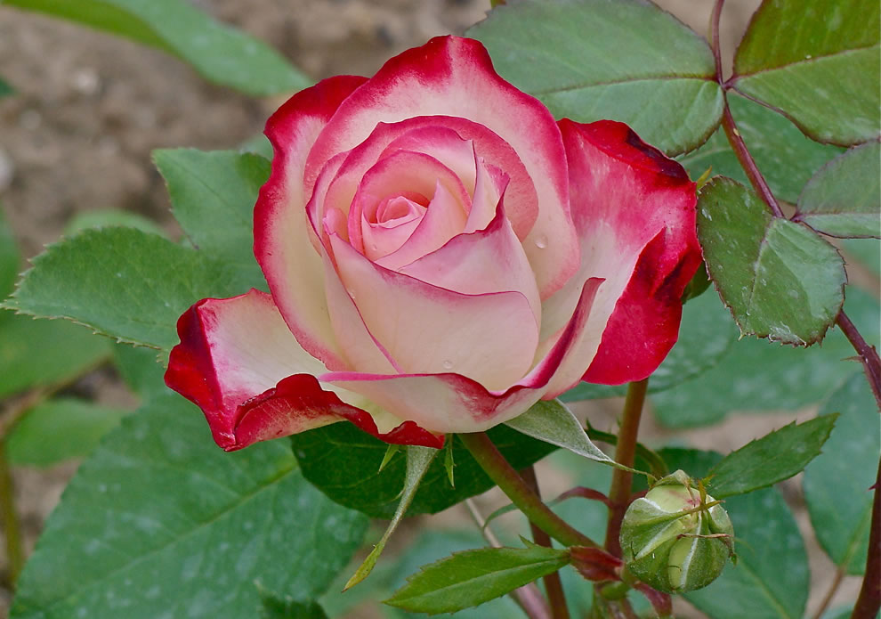Double delight tea rose, all tea roses mean I'll always remember you