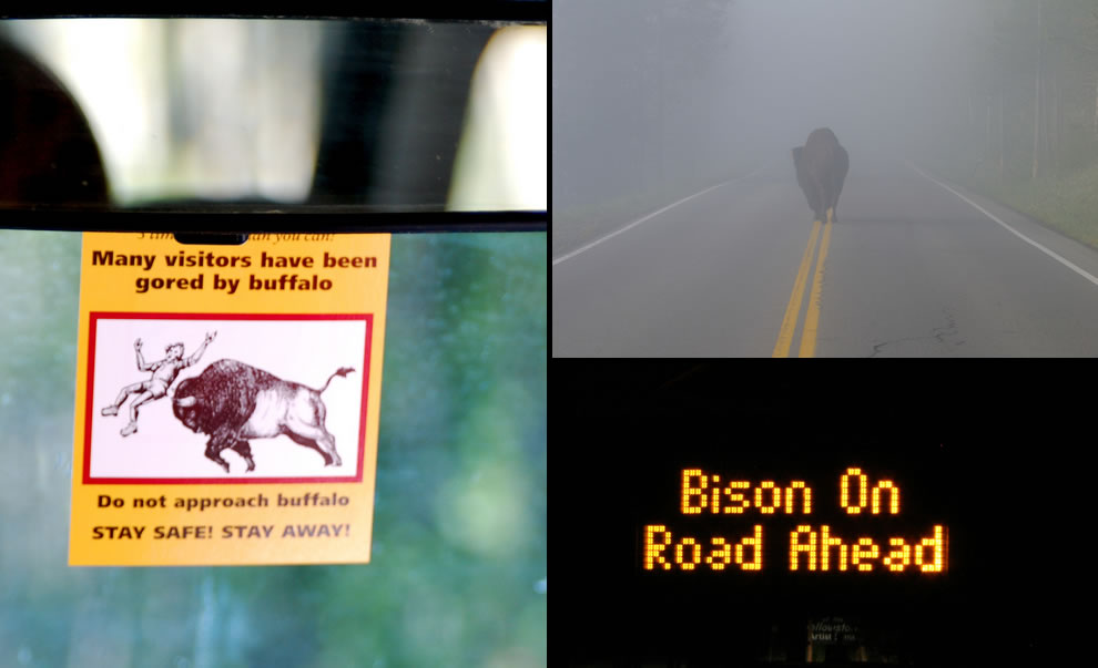 For such huge beasts, bison are not always easy to spot in the dark or in the fog on Yellowstone roads. Be careful, many visitors have been gored by buffalo