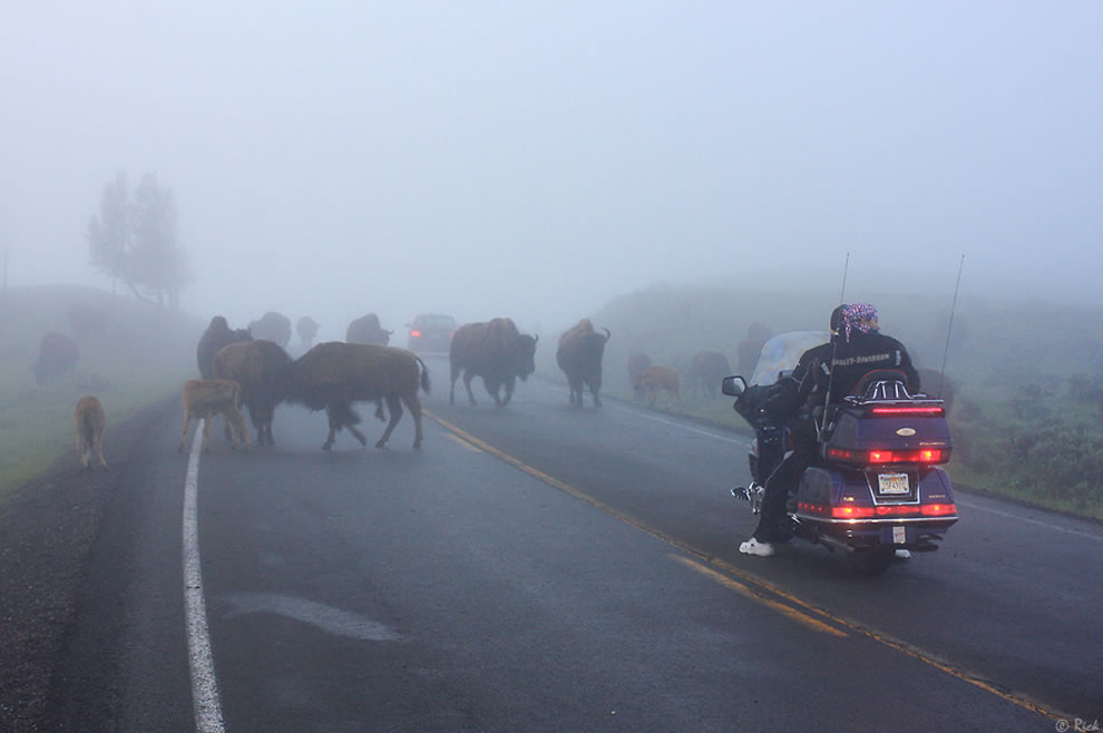 Hope Bison don't try to hipcheck motorcycles, Yellowstone