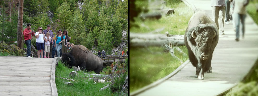 Not just the roads at Yellowstone, bison also take the boardwalk paths through the park