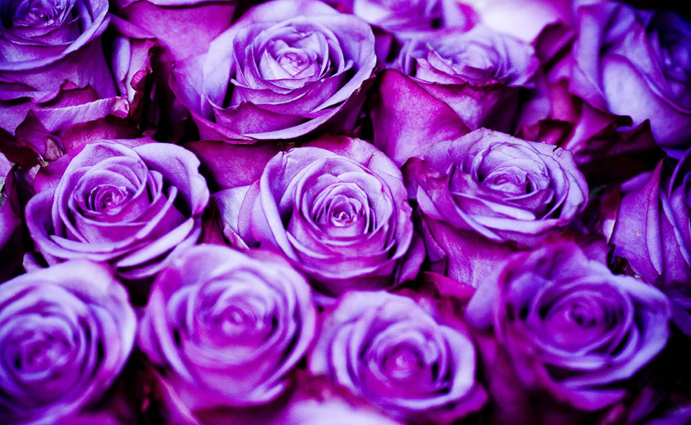 Purple roses according to a florist are usually for a funeral or condolences
