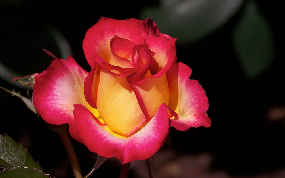 Roses that are yellow with red tip mean friendship or falling in love