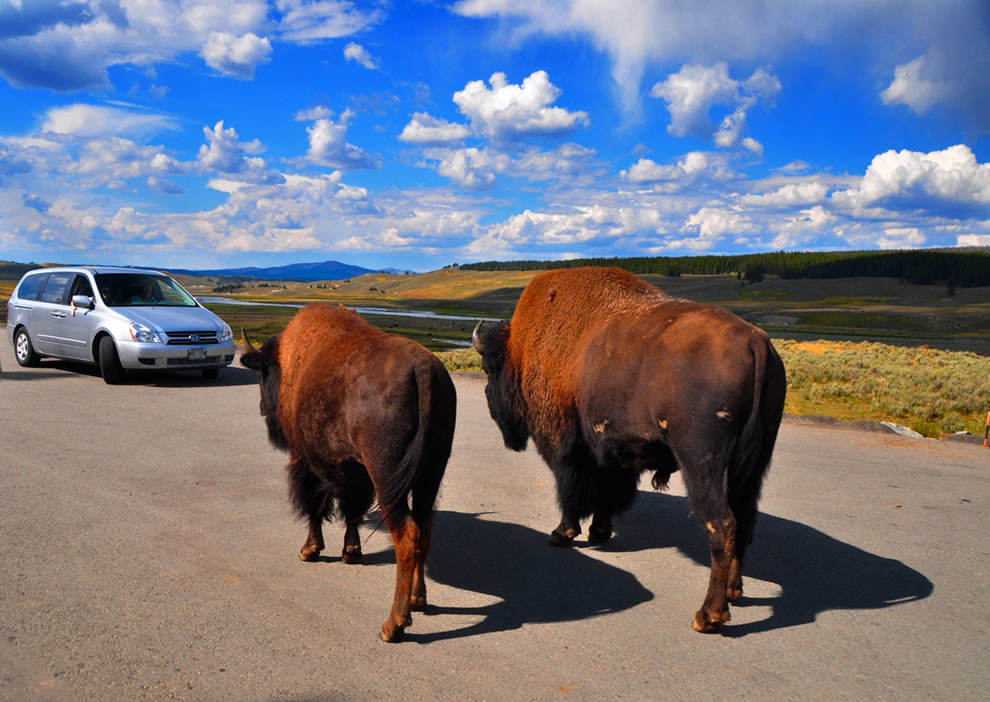 Two against one, bison blocking traffic is common in Yellowstone and is called Buffalo Jams