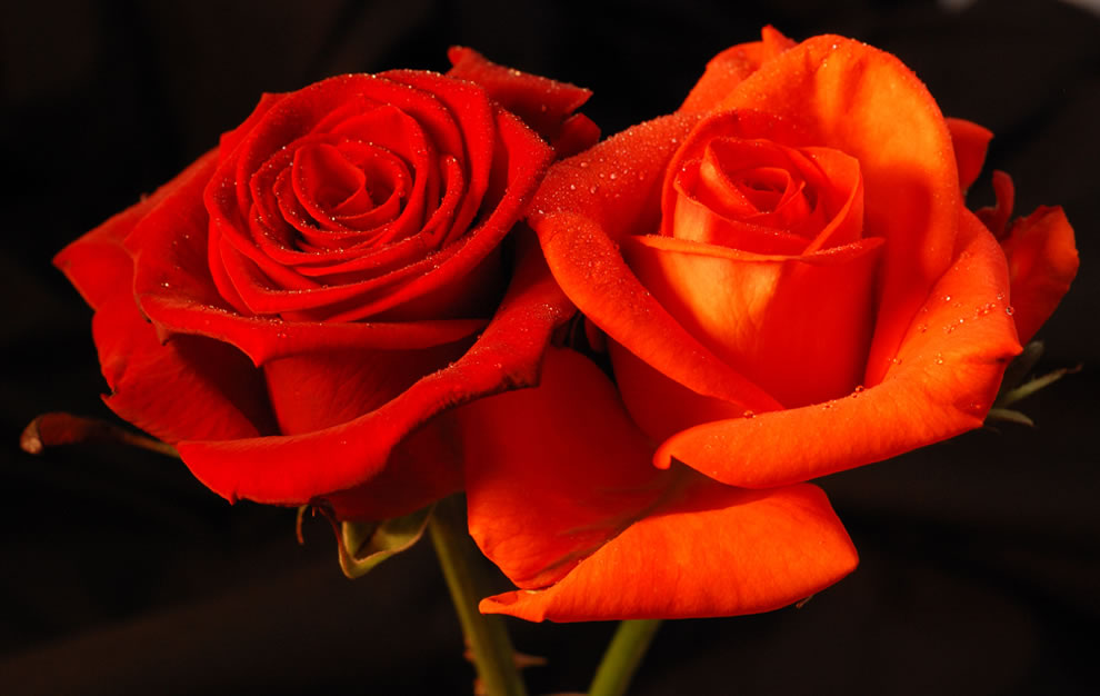 Two roses that are entwined, regardless of color, mean Marry Me