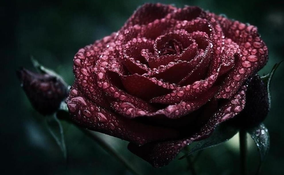Unconscious beauty is symbolized by both dark red and deep burgundy roses