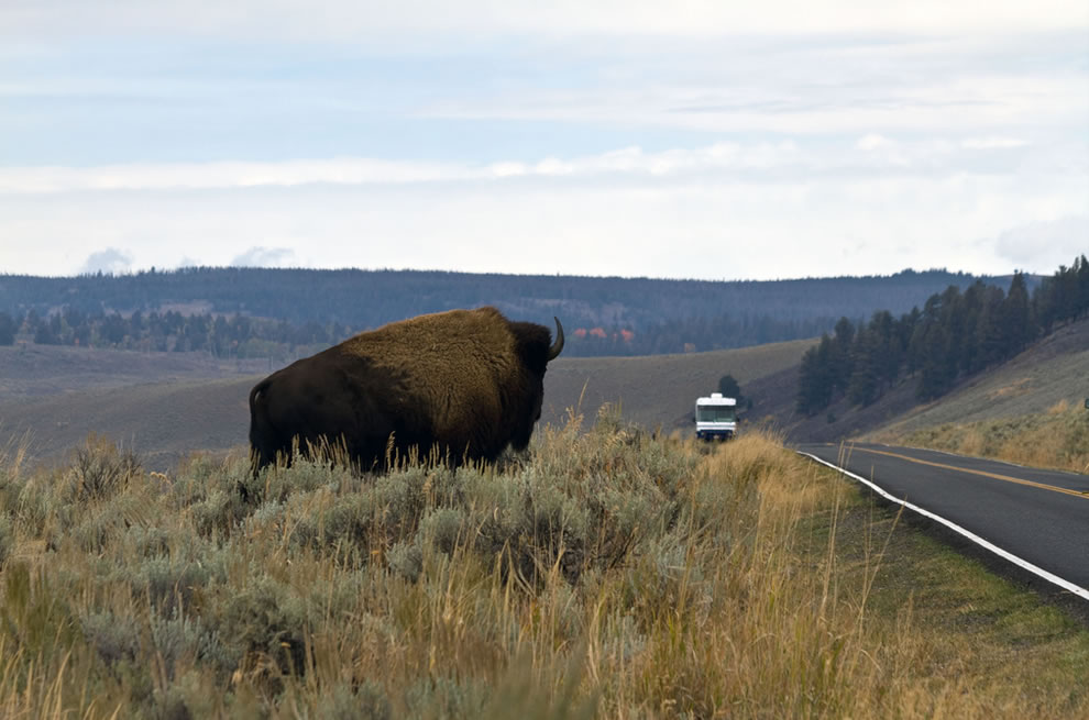 Why did the bison cross the road