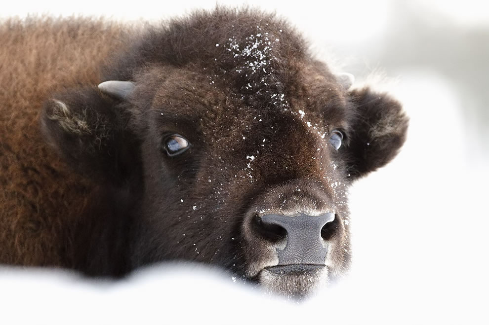 Yathin  Bison, Yellowstone