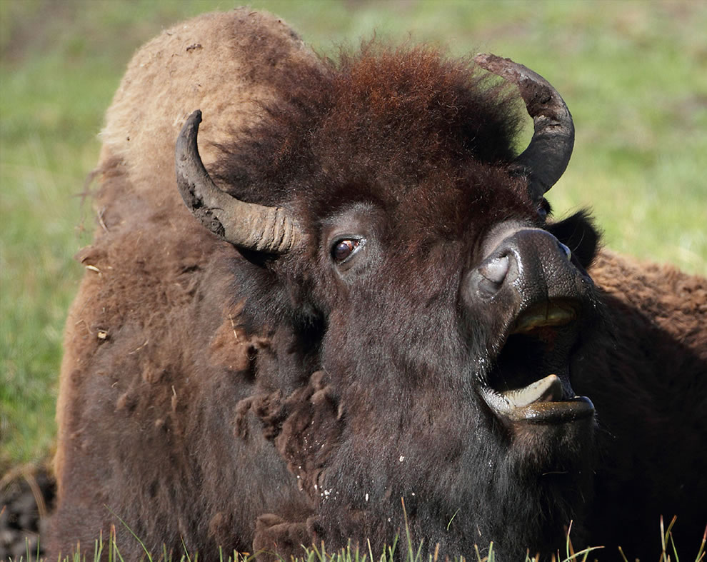 Yawning bison, before his morning coffee at Lamar Valley, Yellowstone NP