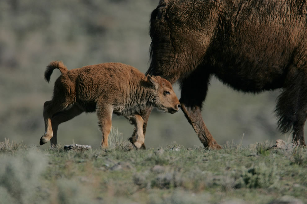 Yellowstone Bison calf following cow - Little America Flat, Yellowstone