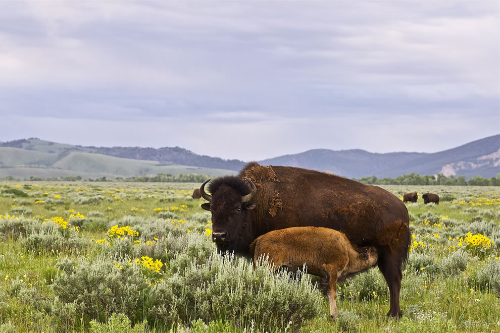 Yellowstone bison and calf, 2000 pounds of anger when calf hesitated to cross road in traffic