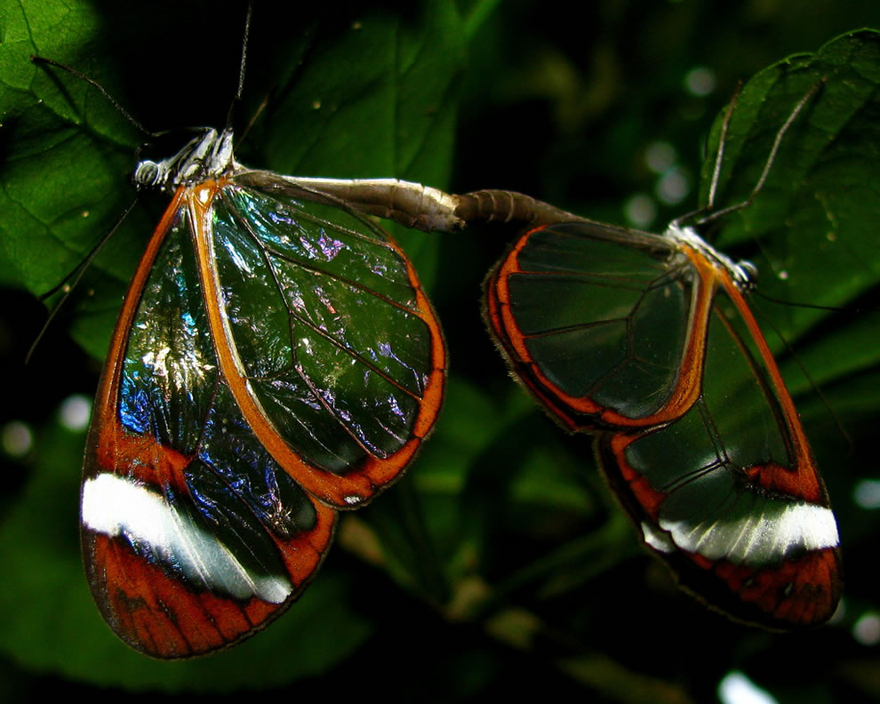 2 glasswing butterflies