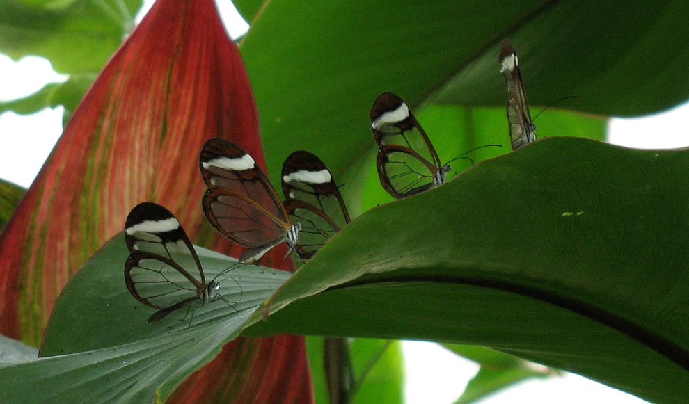 5 sets of glass wings, Glasswinged butterflies