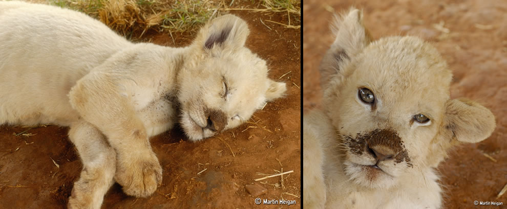 A mischievous little white lion cub, tired and dirty after playing in the mud
