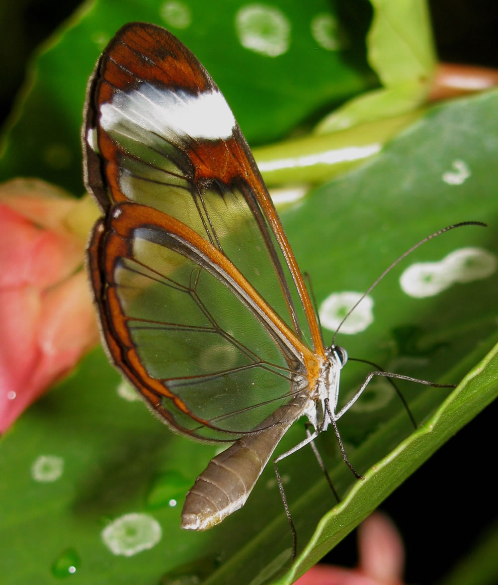 Amazing metamorphosis from caterpillar to translucency of a glasswing butterfly