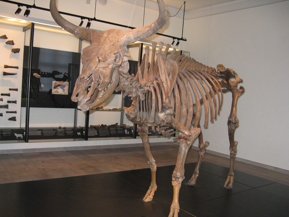 Aurochs ancestors of domestic cattle, extinct since 1627