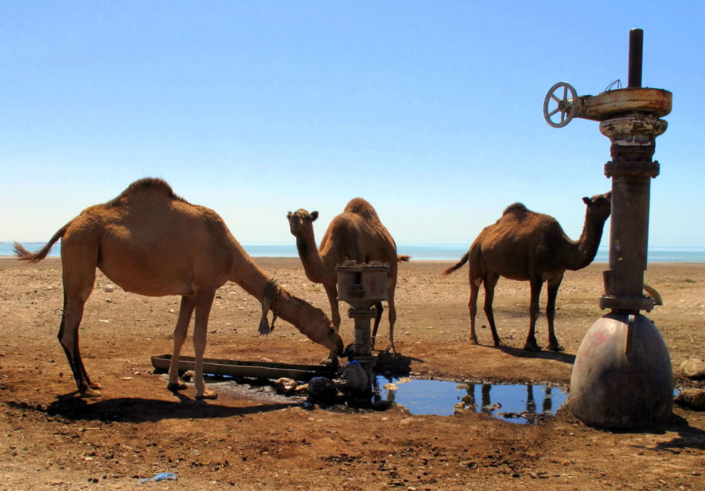Camels drinking from a Leaky Pipe Oasis