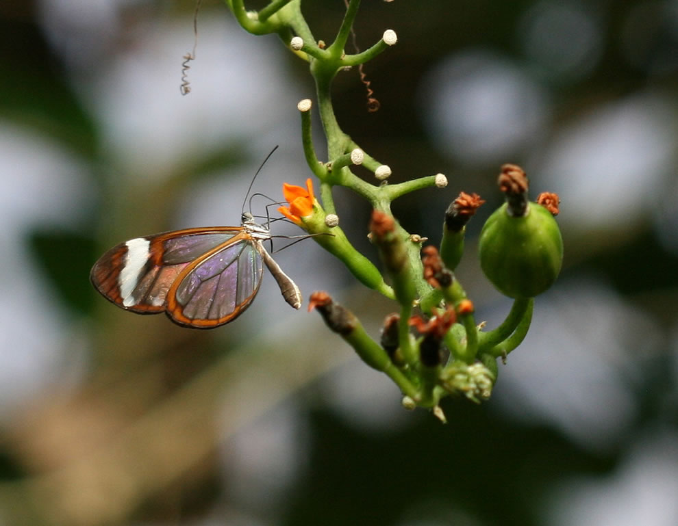 Captive glasswing at Edinburgh Butterfly Farm, Scotland