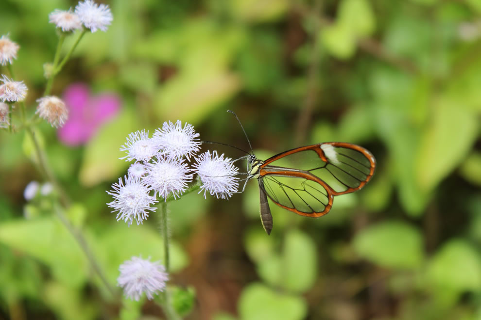 Crystal Butterfly, glasswing in a cloud forest in Hueyapan Township, north of the mountains of Puebla. Mexico