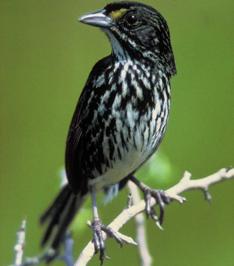 Dusky Seaside Sparrow