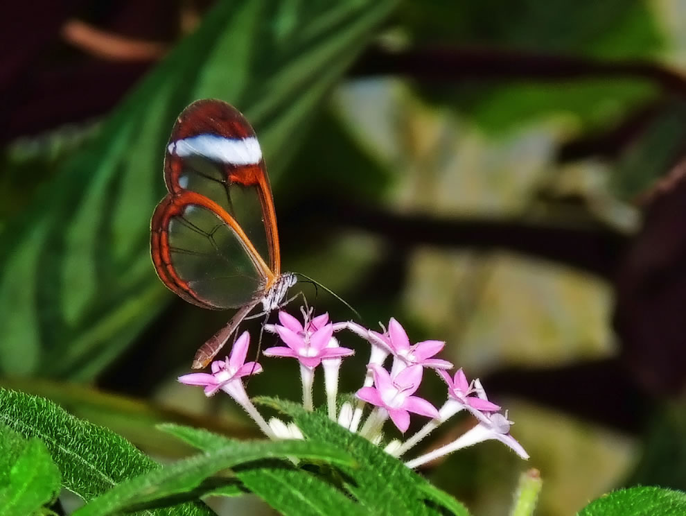 Glasswing On Flowers